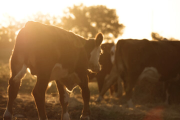 Wall Mural - Abstract blurred Hereford cattle during summer sunrise shows calf walking to herd.
