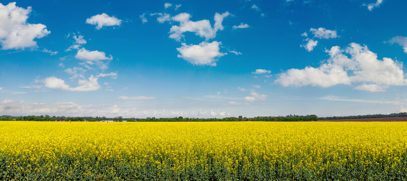 blooming rapeseed field, canola or colza on a sunny summer day