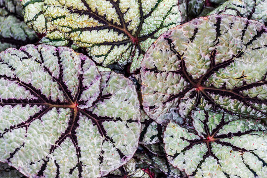Close-up of green-red-black royal begonia rex plant