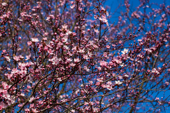 Flowering pretty in pink bird cherry tree on the blue sky background in the spring garden