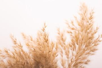 Obraz Beautiful beige dried flowers on white background. - fototapety do salonu