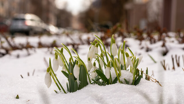 Snowdrops in the snow in a city
