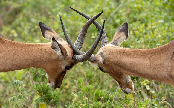 two impala males locking horns.
