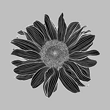 Sunflower flower black silhouette and white linear drawing on grey background, digital art, vector graphics. Design element for cards, invitations, banners, posters, prints.