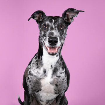 Studioshot of a black grey and white lurcher a type of sighthound which is a mixed greyhound or whippet against a pink background