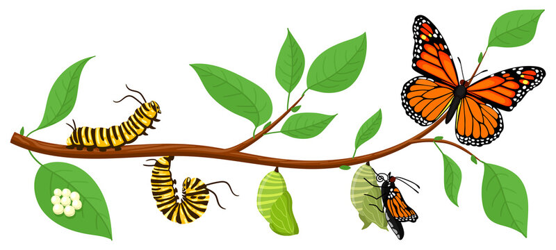 Butterfly life cycle. Cartoon caterpillar insects metamorphosis, eggs, larva, pupa, imago stages vector illustration. Insects wildlife transformation