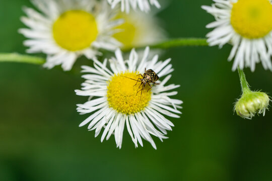 Tarnished Plant Bug on Fleabane Flowers