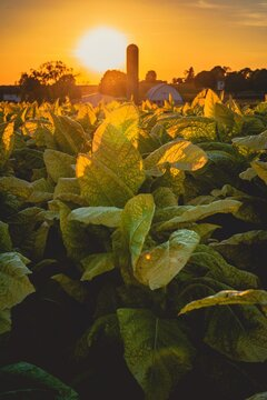 sunset in tobacco field in Lancaster County, PA