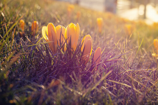 Yellow crocuses in a spring