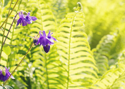 Purple colombine flower and fern