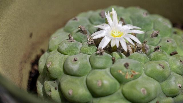 wirikuta hikuri mexican peyote flower