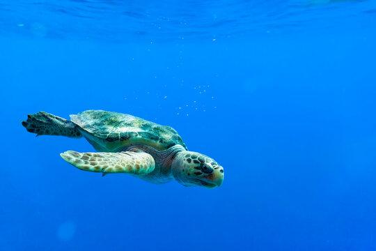 Loggerhead sea turtle swimming in a deep blue open ocean