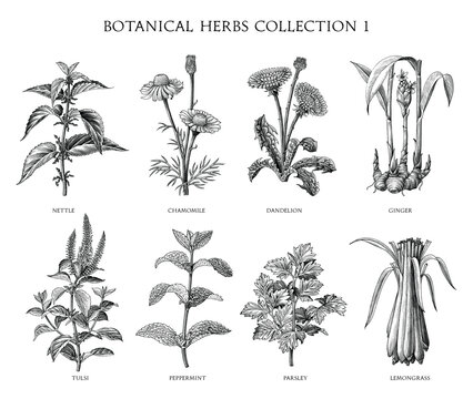 Botanical herbs collection hand draw engraving style black and white clip art isolated on white background