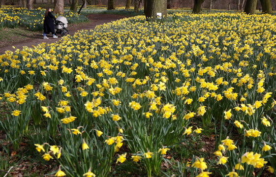 A woman pushes a pram through a field of daffodils in Sefton Park in Liverpool