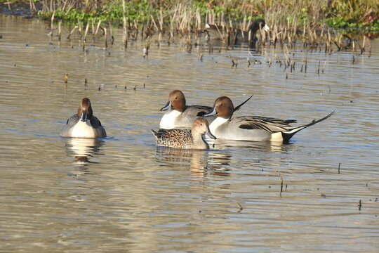 Northern pintail ducks enjoying a beautiful day at the Colusa National Wildlife Refuge, in the Sacramento Valley, California.
