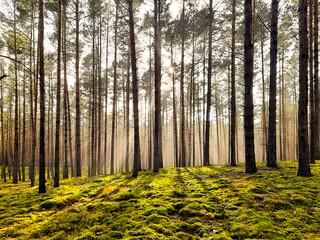 Wiosenny, mglisty poranek w sosnowym lesie.