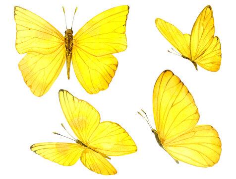 Illustration of yellow butterflies. Watercolor. Watercolor clip art.