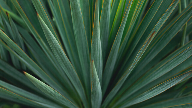 Blue agave plant close up for produce teauila. green botany background. banner