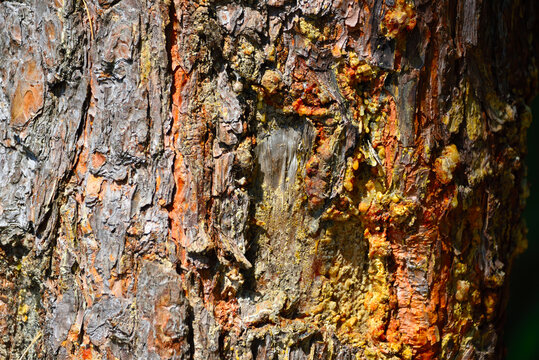 Close-up on cracked bark of a Loblolly Pine trunk with damage and resin dripping