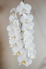 Weiße Orchidee (Orchidaceae phalaenopsis)