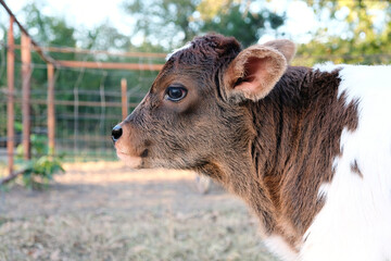 Wall Mural - Cow farming shows beef calf head with large eyes closeup.