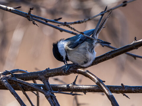 chickadee in the forest