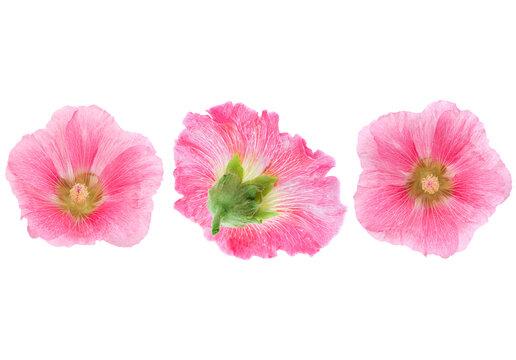 Pink hollyhock flower closeup