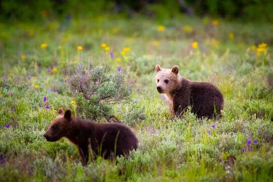 Two of Grizzly Bear cubs stand in a field of wildflowers in Grand Teton National Park, Wyoming.