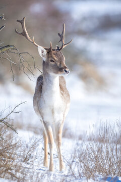 Fallow deer stag Dama Dama foraging in Winter forest snow