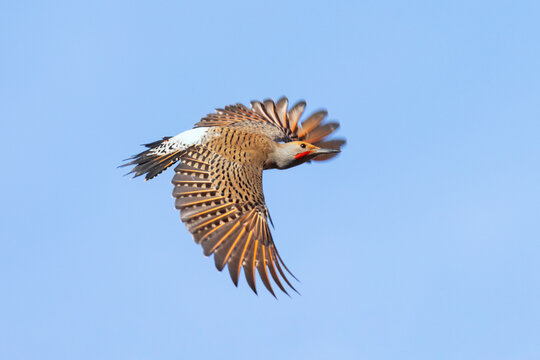 northern flicker woodpecker
