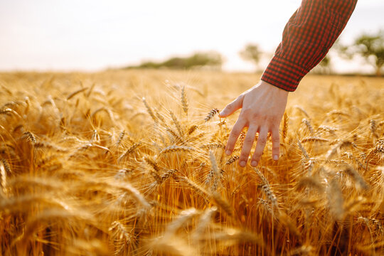 Man walking in wheat during sunset and touching harvest. Agricultural growth and farming business concept.