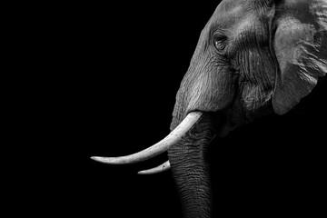 Fototapeta Elephant animal , isolated black wildlife