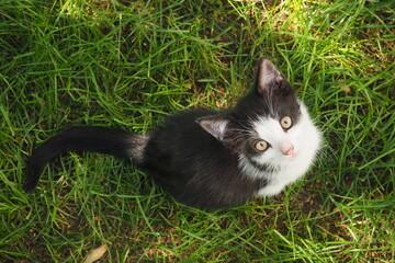 Młody czarno-biały kotek patrzący w górę na tle zielonej trawy
