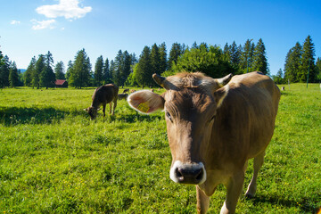Close-up of a brown cow grazing on a fresh green meadow under a clear blue sky near Neuschwanstein Castle, Bavaria, Germany. Wall mural