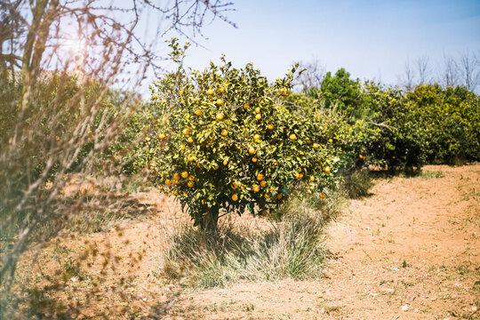 orange blossom, orange tree on Mallorca, Spain