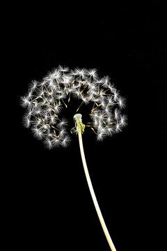 Dandelion Head simultaneously releasing seeds