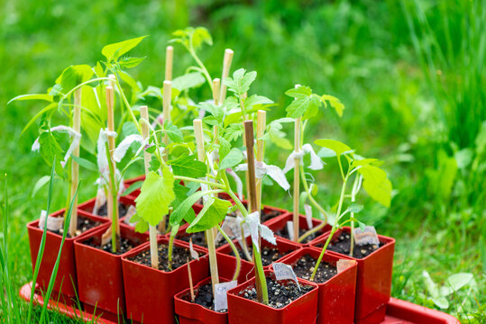Tomato seedlings in box in greenhouse. Young tomato plants. Vegetables garden.