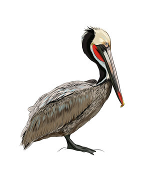 Pelican from a splash of watercolor, colored drawing, realistic. Vector illustration of paints