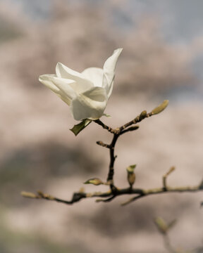 Macro close up of white magnolia stellata blossom on branch in spring light