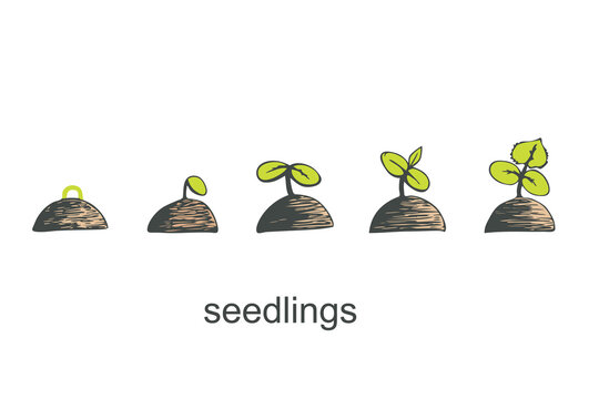 Phases of germination of a cucumber seedling on a white isolated background. Vector illustration