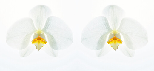 Printed kitchen splashbacks Orchid Zwei Weiße Orchideenblüten Phalaenopsis Schmetterling auf weißen Hintergrund
