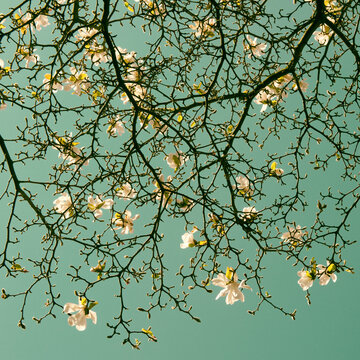 Conceptual photo of blooming magnolia stellata blossom braches on tree in spring inspired by Van Gogh