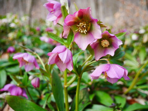 Die Schneerose in der Farbe lila, auch Christrose genannt, aus der Gattung der Nieswurze, in ihrer natürlichen Umgebung im Wald.