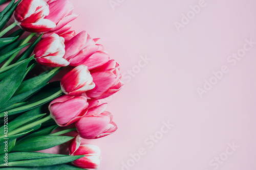 top view of pink tulips on pink background with free space