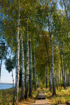 Wooden path for walking through a birch grove on an autumn sunny day