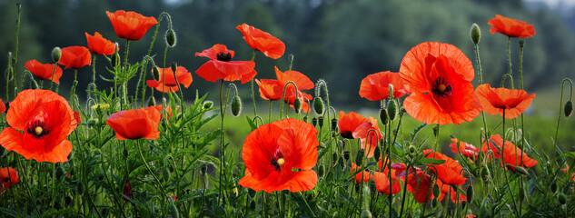 Canvas Prints Poppy Field of beautiful poppy flowers .Spring landscape of wildflowers.