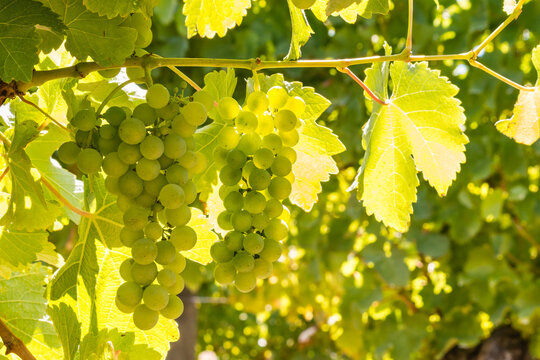 closeup of backlit ripe Pinot Gris bunches of grapes hanging on vine in vineyard at harvest time