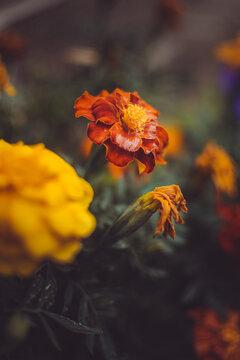 Orange marigold flower growing in backyard garden