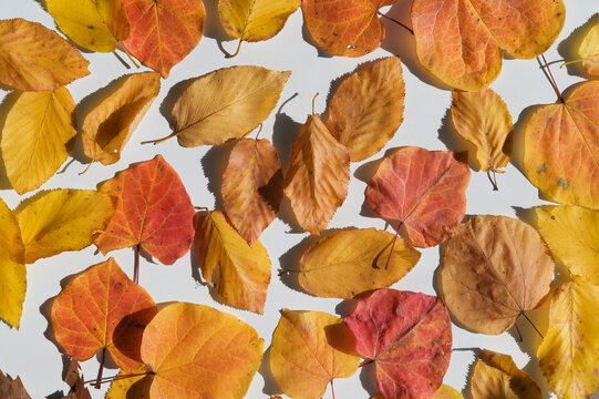Fallen leaves on white background