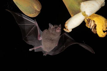 Obraz Lonchophylla robusta, Orange nectar bat The bat is hovering and drinking the nectar from the beautiful flower in the rain forest, night picture, Costa Rica - fototapety do salonu